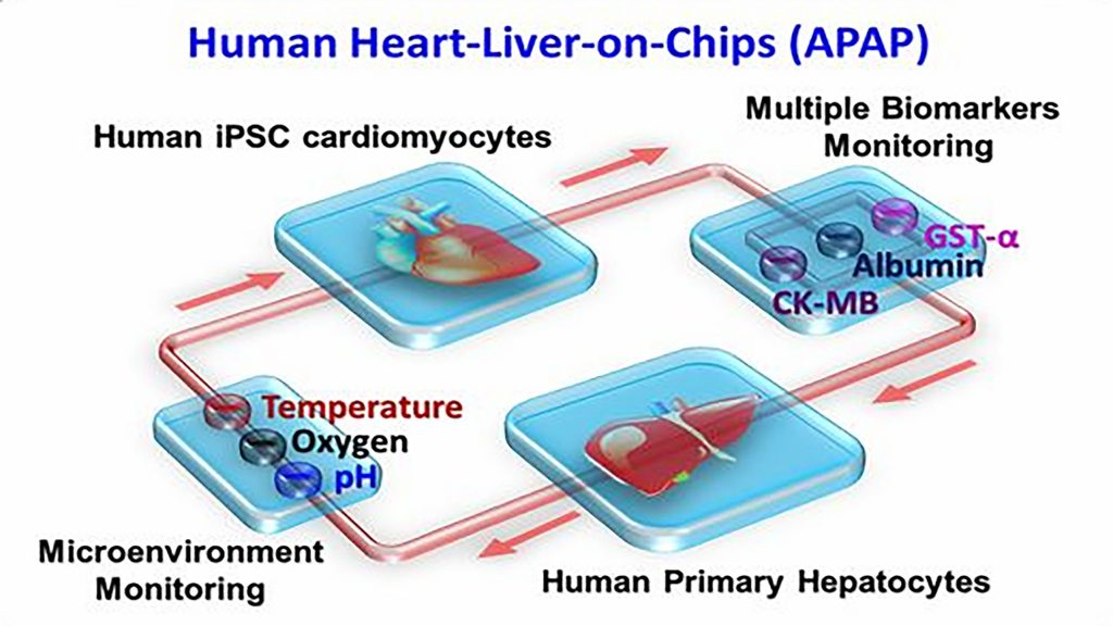 Schematic showing the design of an organ-on-a-chip CREDIT: Ali Khademhosseini