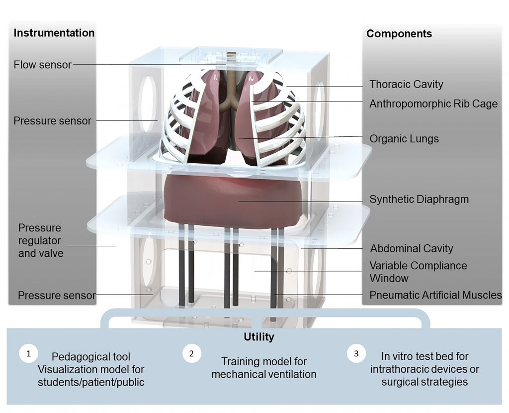 A computational rendering of the biohybrid respiratory simulator shows the modular device, including organic swine lungs, artificial muscles and a diaphragm made of thermoplastic and elastomeric materials. It was built to accurately replicate respiratory mechanics and precisely track pressure, flow and volume to test innovative medical implants and replicate changes in the system introduced by disease or ventilator use. CREDIT: Image courtesy of the authors