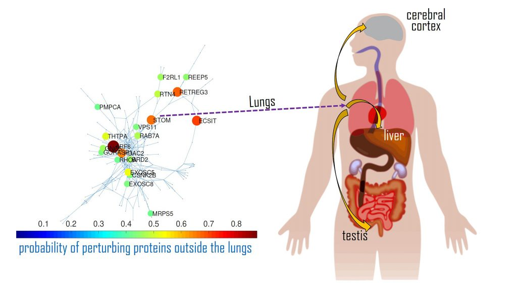 An interaction map of the main disease activators for SARS-CoV-2 in the lungs and how they impact proteins in other organs. CREDIT: Ernesto Estrada