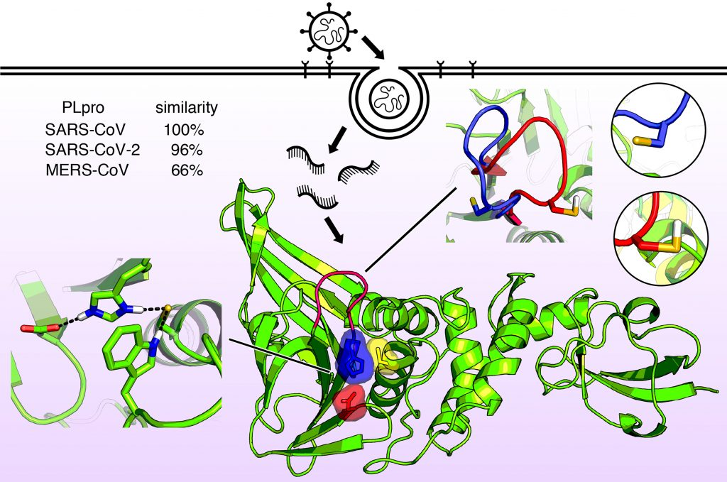 Molecular structure of the papainlike enzyme known as PLPro. This enzyme allows the viruses that cause SARS, MERS, and COVID-19 to infect cells and replicate and suppress the host's immune function. Now that the enzyme structure is known in detail, new antiviral drugs can be designed. CREDIT: Jack Henderson, University of Maryland School of Pharmacy