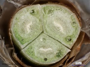 Cross-section of fascicle bud from the Pinus palustris, aka longleaf pine, used for the experiments. CREDIT: Lebanoff and Dickerson, UCF