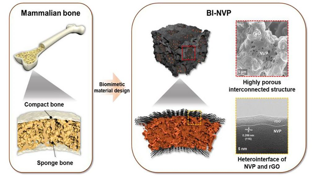 A schematic illustration demonstrating how the structure of a mammal bone is translated into the design of the bone-inspired NVP cathode. CREDIT: Kang Ho Shin, Sul Ki Park, Puritut Nakhanivej, Yixian Wang, Pengcheng Liu, Seong-Min Bak, Min Sung Choi, David Mitlin and Ho Seok Park