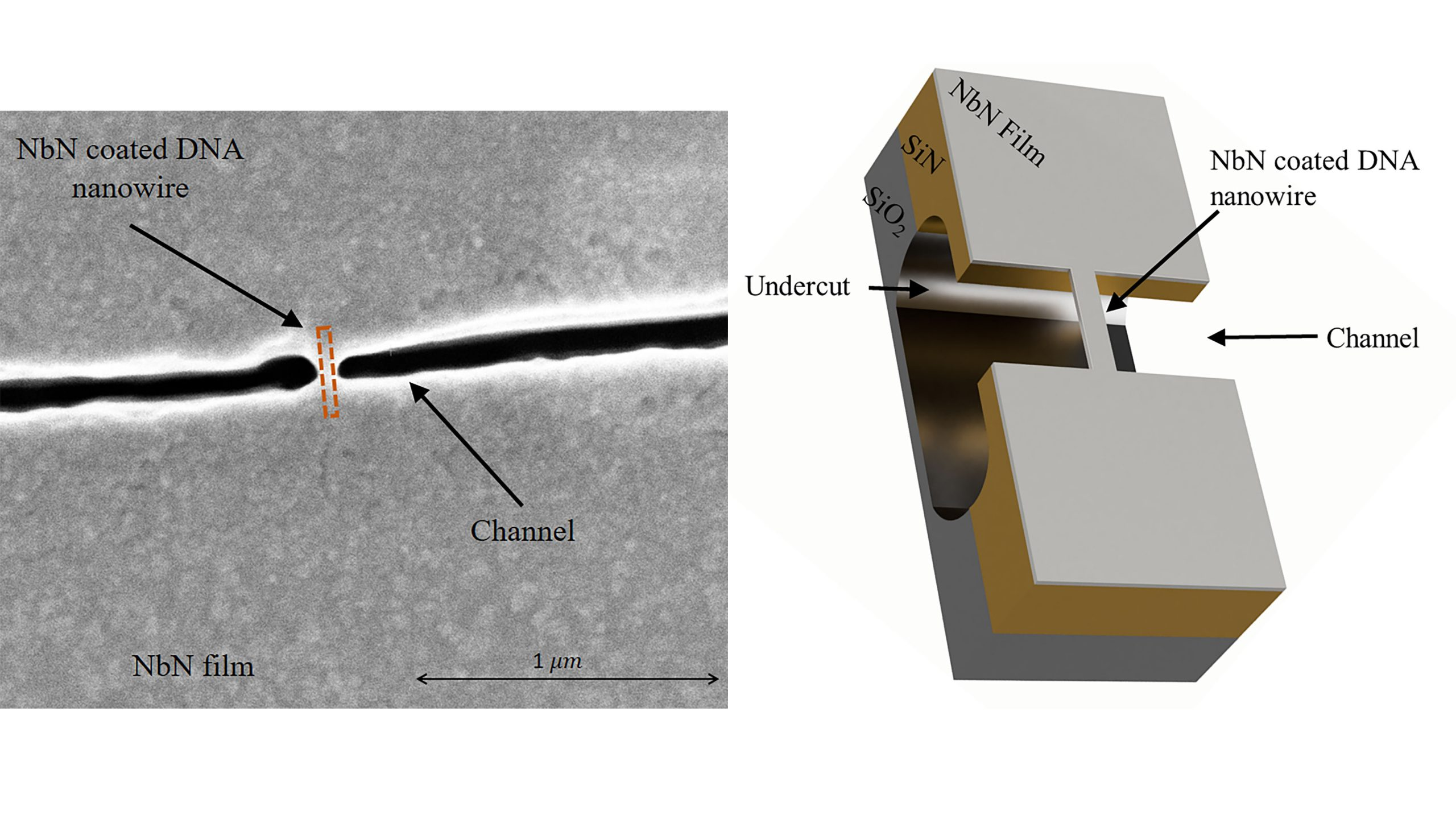 (left) Schematic illustration of a niobium nitrate-coated DNA nanowire suspended above a silicon nitride/silicon oxide channel. (right) High-resolution scanning electron microscope (HR-SEM) image of the channel (black in image) on which the DNA nanowire is suspended. In the image, the channel appears discontinuous, reflecting the DNA suspended across it (marked by dashed orange rectangle). The distance between the two sides of the channel is ~50 nanometers, and the width of the niobium nitrate-coated nanowire at its narrowest point is ~25 nanometers. CREDIT: Lior Shani, Philip Tinnefeld, Yafit Fleger, Amos Sharoni, Boris Shapiro, Avner Shaulov, Oleg Gang, and Yosef Yeshurun