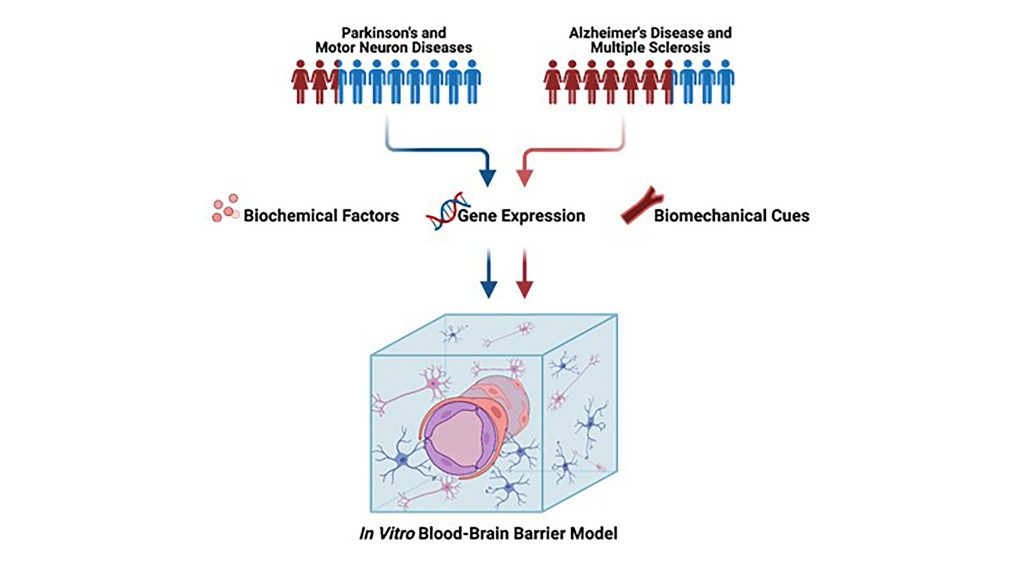 Human neurodegenerative diseases affect men and women differently, yet sex is rarely included in in vitro bioengineered models of neurodegenerative disease. Sex-related differences include a wide range of biochemical factors, gene expression, and biomechanical cues. These sex differences must be included in blood-brain barrier models to improve the understanding of sex differences in neurodegenerative disease and eventually realize personalized medicine. CREDIT: Callie Weber