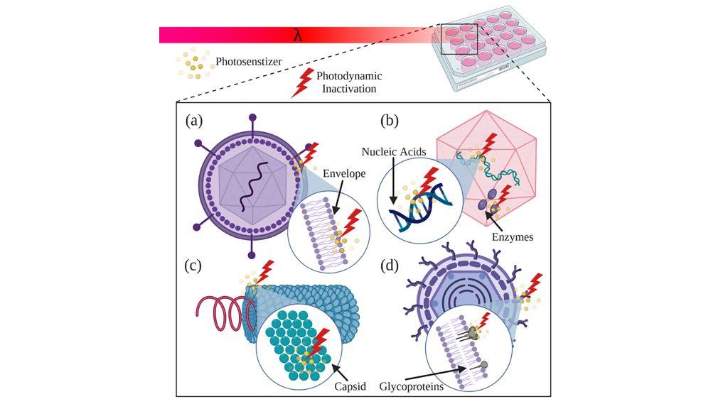 Schematic illustration of photodynamic inactivation of various viruses. CREDIT: Vladislav Yakovlev/Texas A&M University