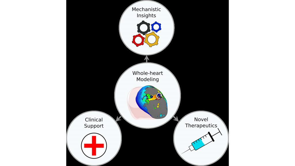 Whole-heart ventricular arrhythmia modeling can improve mechanistic insights and clinical support, as well as lead to novel therapeutics. CREDIT: Eric Sung, Sevde Etoz, Yingnan Zhang, and Natalia A. Trayanova